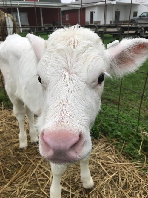 White calf